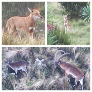 The wolves near our final campsite (top), and a zoomed in shot of the Walia Ibex after we finally found them (bottom).