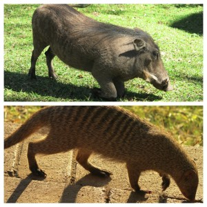 Hakuna Matata (oh, and warthogs eat while on their knees...so. much. knowledge.)