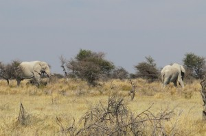 HUGE Namibian elephants.