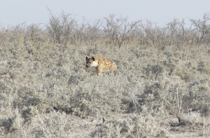 The only Hyena we saw the whole time, only for a brief few seconds.