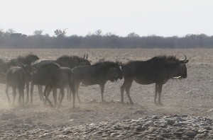 Pack of Wildebeasts