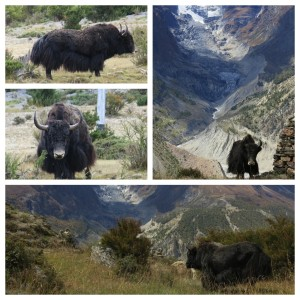 One sign that we were getting to higher elevations - yaks! These skirt-furred behemoths only graze at higher elevations so we didn't see them until we were approaching Thorong La Pass more than a week into our hiking.