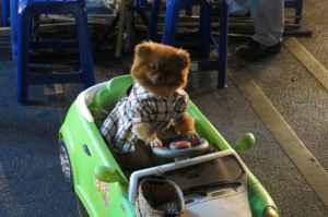 Just a dog driving a car at the Saturday Walking Market.