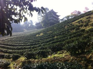 Tea fields 2 copy