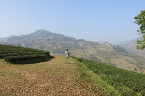 A stroll through the tea rows.
