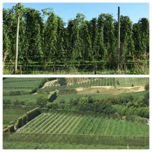 Mutueka hop vines