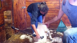 I even got in on the action. Little known fact (for non-farmers): sheep wool is really, really greasy.]